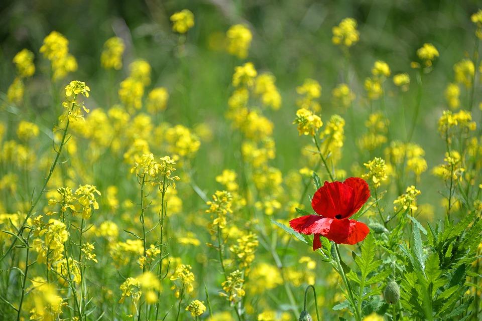 poppy-1819645_960_720.jpg
